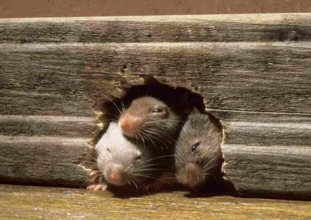 Мыши - очень плохие соседи.  Фото: ok.ru.