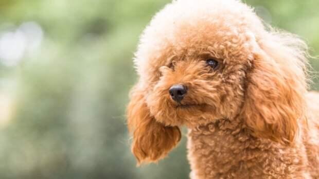 Пудели вошли в пятерку самых агрессивных пород собак