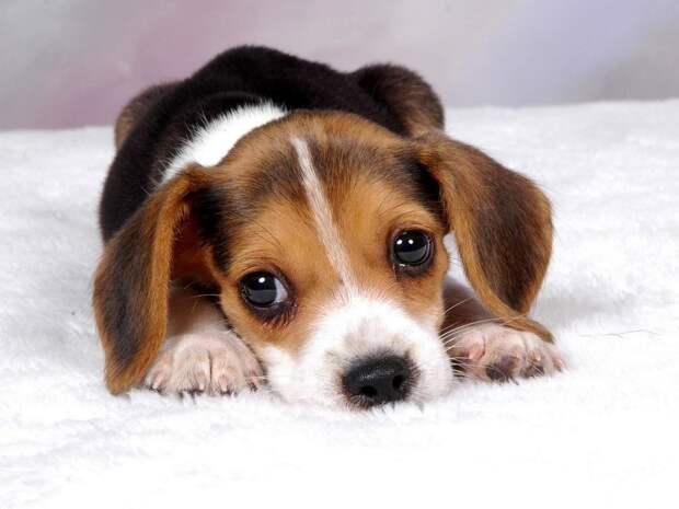 На каких собак нет аллергии
