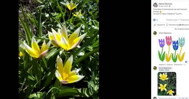 В Северном Тушине распустились необычные тюльпаны