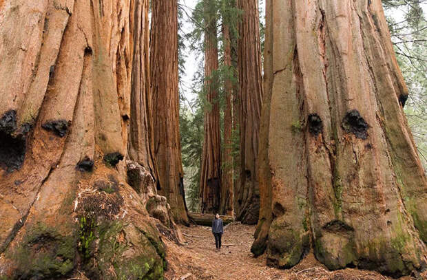Прогулка в роще деревьев секвойи