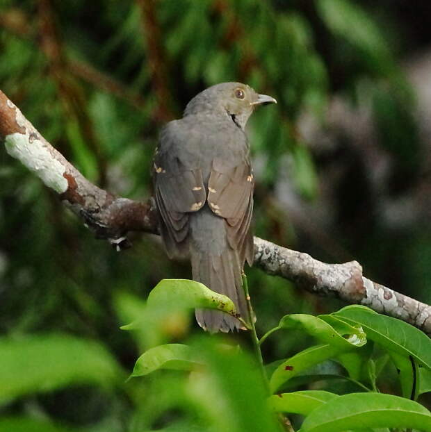 Серая аулия: птица, которая филигранно прикидывается то ли гусеницей, то ли... Трампом!