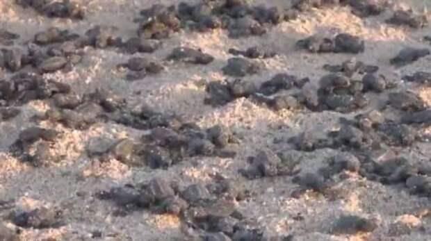 Как COVID-19 помогает исчезающим черепахам размножаться (4 фото)