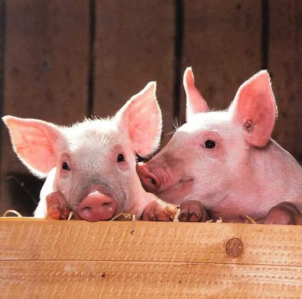 Под Белгородом выявили вспышку африканской чумы свиней
