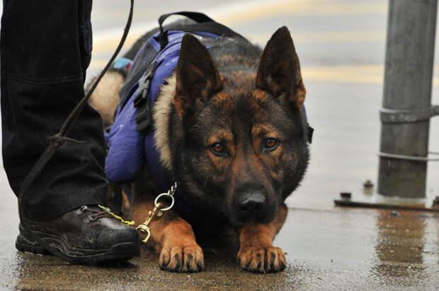 1. Полицейский пес Роко Высшее образование,  америка,  диплом,  животные