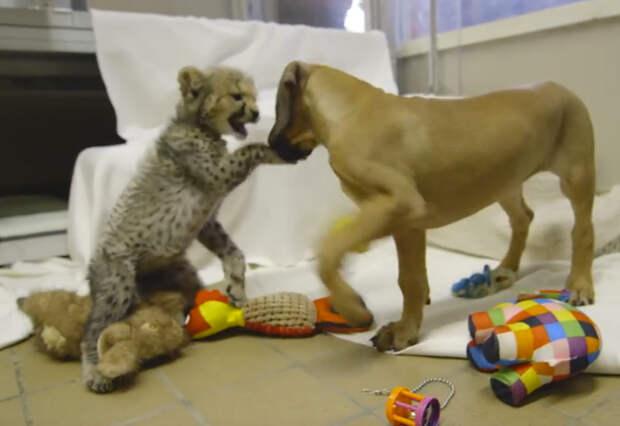 Собака и гепард познакомились будучи еще совсем маленькими...