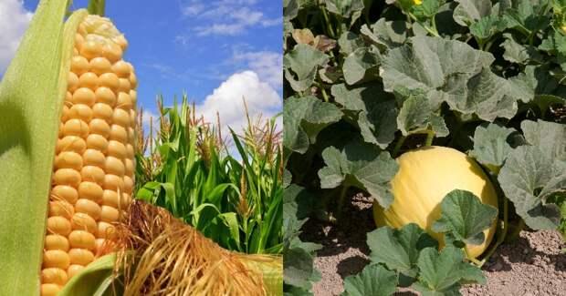 совмещенные посадки овощей и цветов