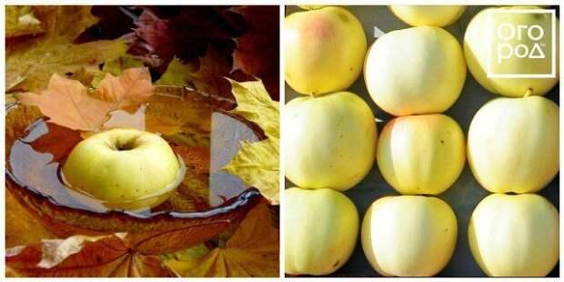 яблоки золотая осень