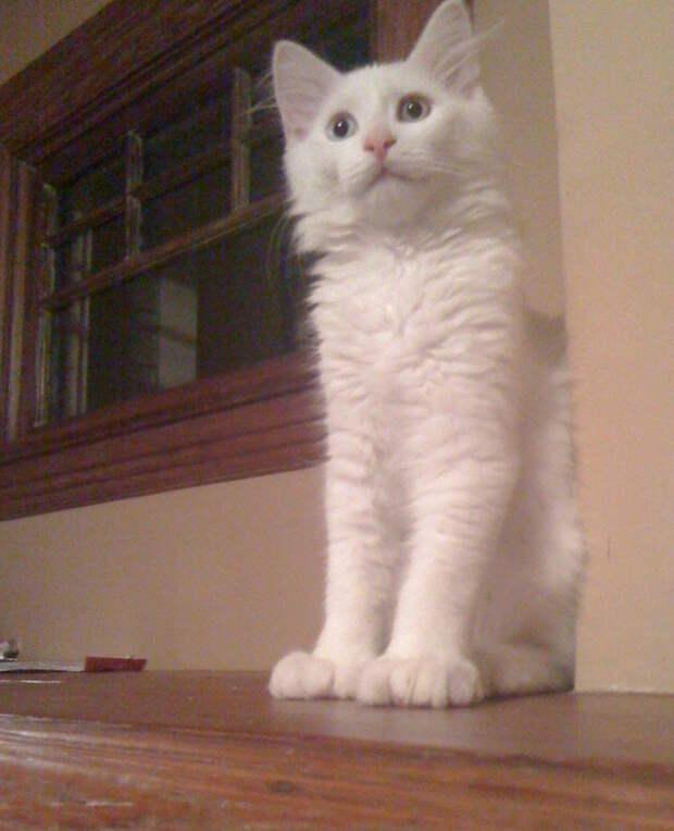 Вот почему у некоторых кошек по шесть пальцев на лапках
