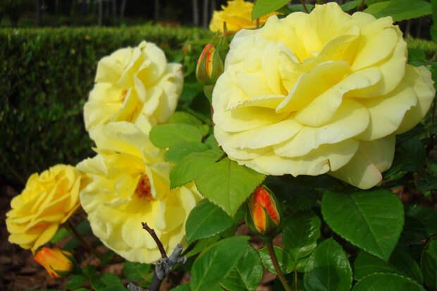 Парк роз Сервантеса. Барселона, Испания