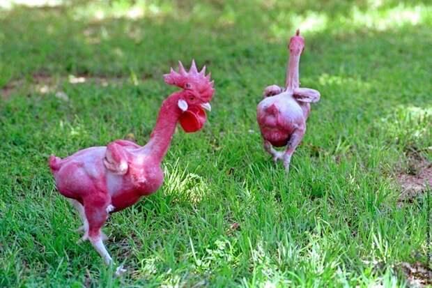 Особая порода лысых птиц: как выглядит курица без перьев