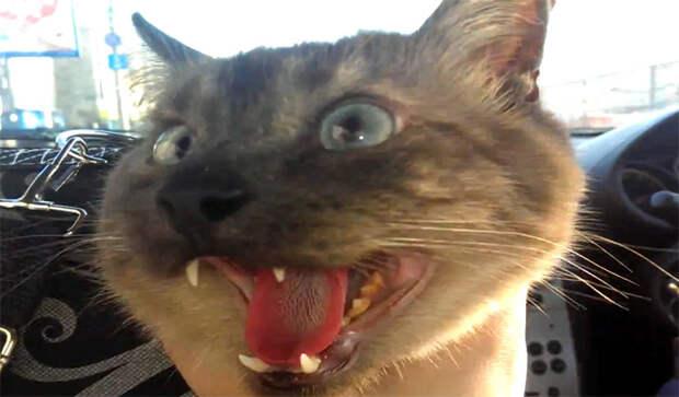 Кошки смешно дышат как собаки
