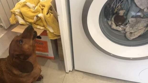 Маленькая такса целый час плакала, пока ее любимую игрушку стирали в машинке