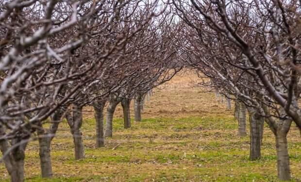 Вот как правильно обрезать плодовые деревья – все о видах крон и их формировании в картинках