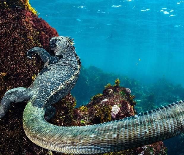 5 грациозных фото морских игуан, которых не хочется встретить во время купания