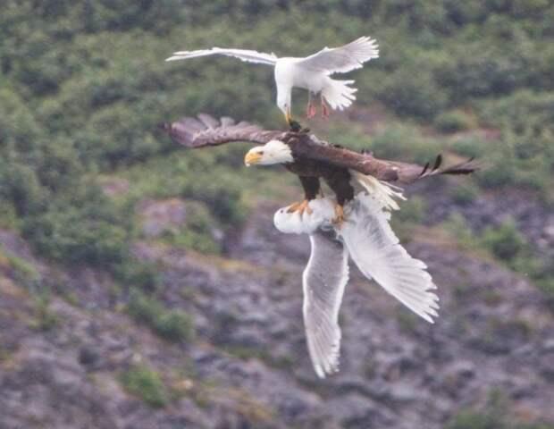 Чайка пытается спасти друга из когтей орла.