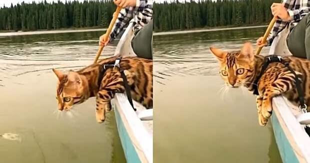Кот плывет на лодке и внимательно изучает воду за бортом видео, животные, коты, кошка, лодка, прикол, юмор