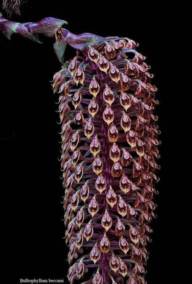 Bulbophyllum Beccarii гирлянды, интересное, красота, природа, фотомир, цветы