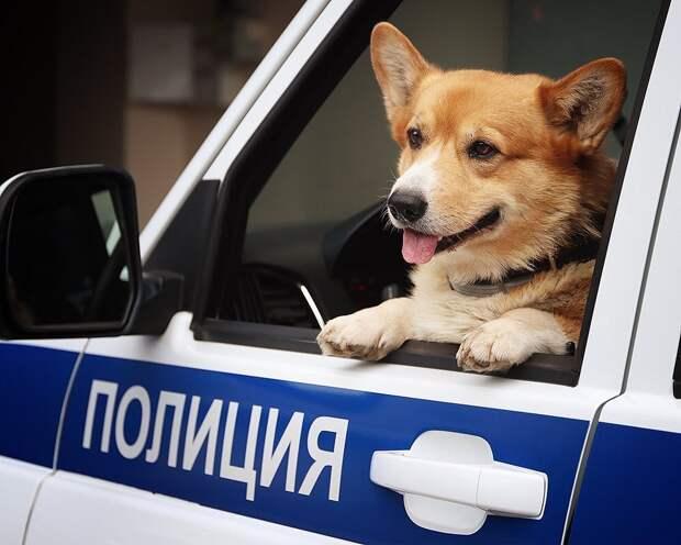 Российский полицейский породы корги вышел на пенсию