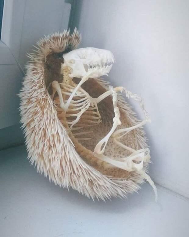 А вы видели скелет ежа?