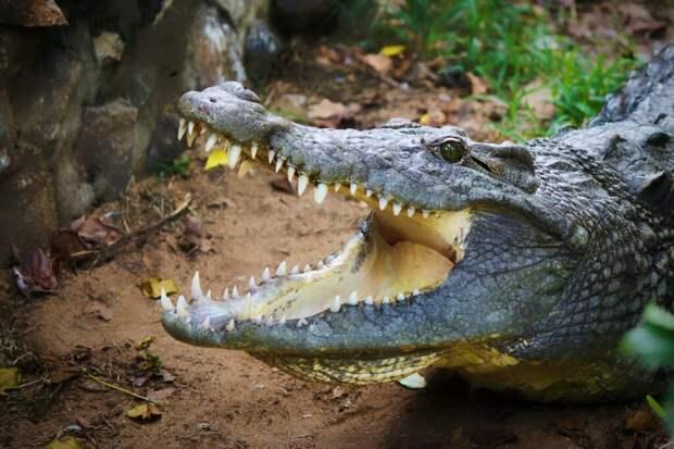 В желудке гигантского аллигатора обнаружено первобытное оружие