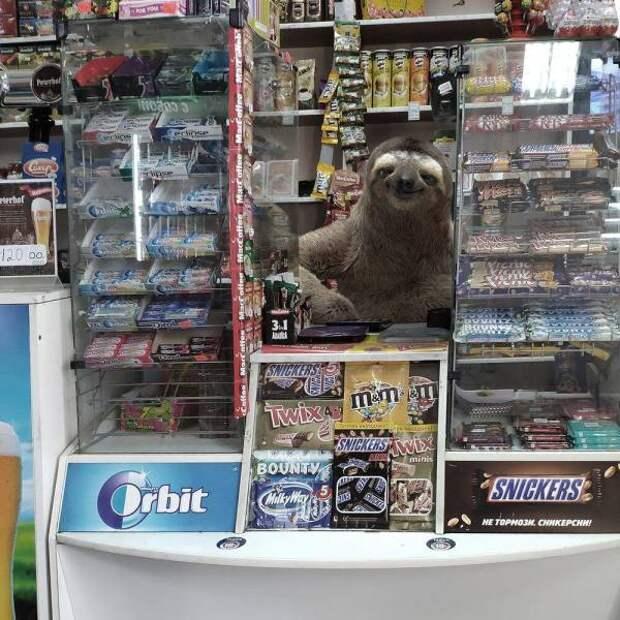 Ленивец на кассе в магазине
