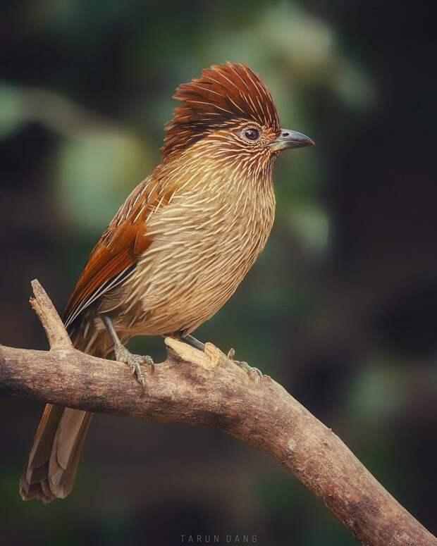 Симпатичные птицы на снимках Таруна Данга