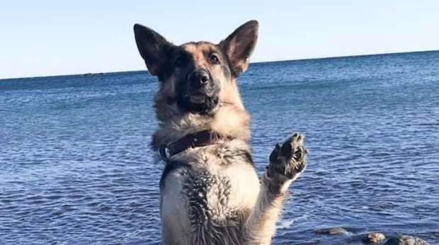 Забавы ради хозяйка научила собаку делать искусственное дыхание, а питомица отнеслась к делу со всей серьезностью