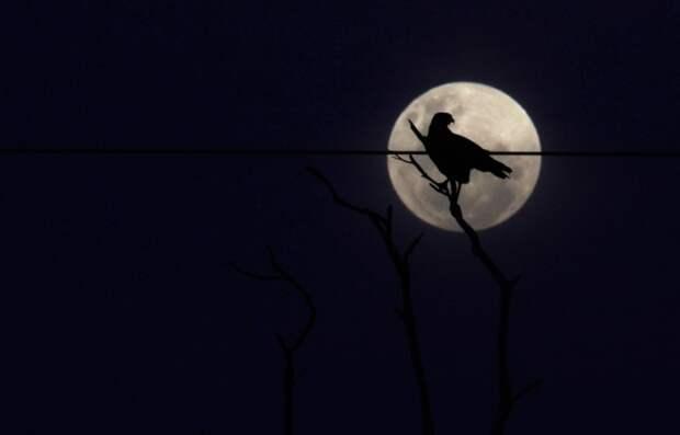 Птица на фоне Луны