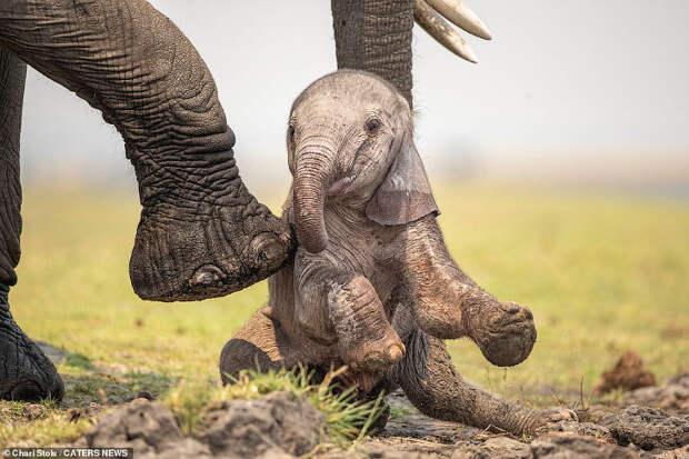 Первые дни слоненка в фотографиях