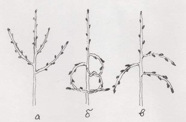 Летнее формирование кроны молодых деревьев