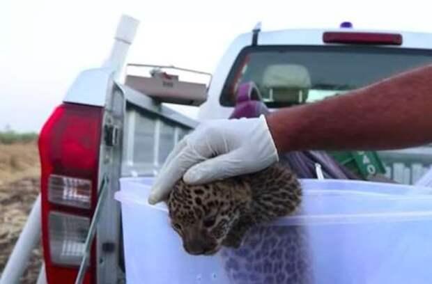 Люди нашли маленького леопардика и решили вернуть его матери. Но как это сделать?
