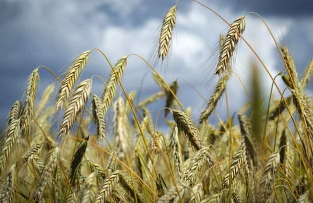 Стоимость российской пшеницы достигла максимума за последние семь лет