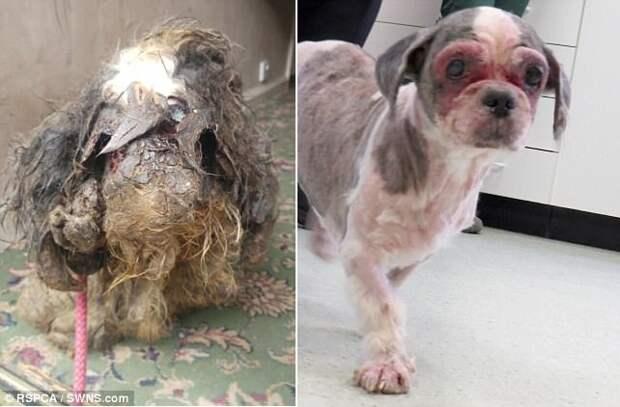 В Великобритании брошенную собаку с ужасно свалявшейся шерстью пришлось брить под наркозом