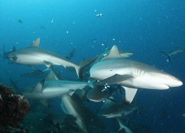Дружба серых акул сохранилась на года