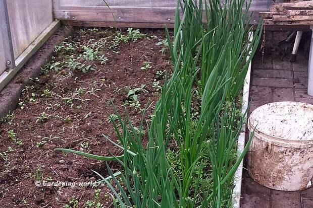 Зеленые перышки лука-севка в теплице