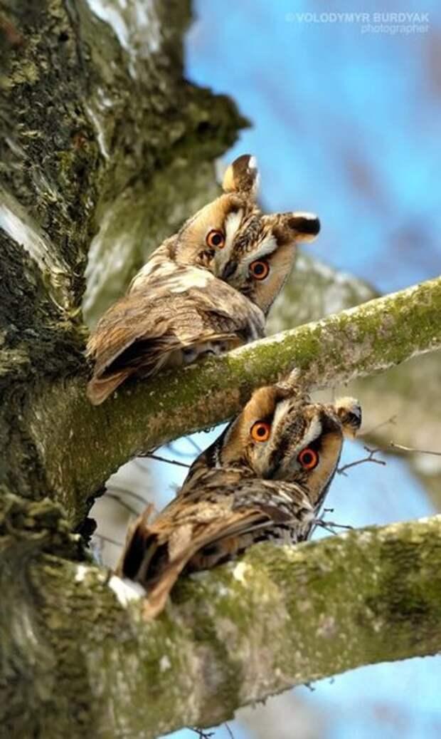 Эти совы