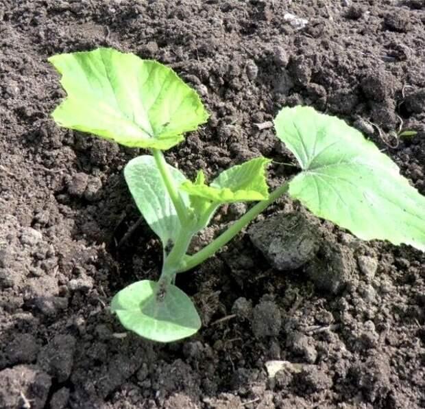 Технология посадки тыквы