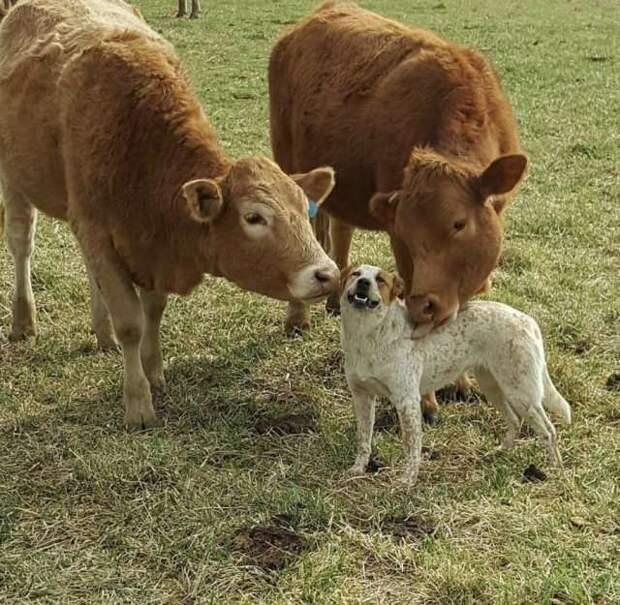 Коровьи нежности домашние животные, животные, кошка, прикол, свинья, собака, юмор