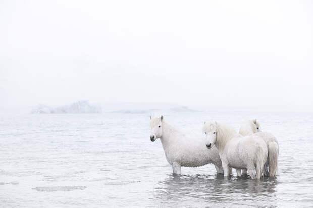 Фотограф заснял лошадей, которые бывают только в Исландии