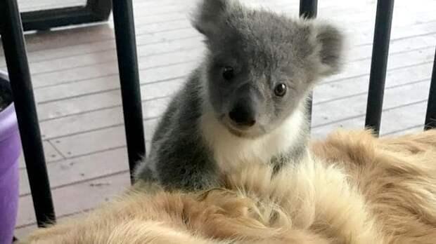 Как золотистый ретривер спас от холода маленькую коалу