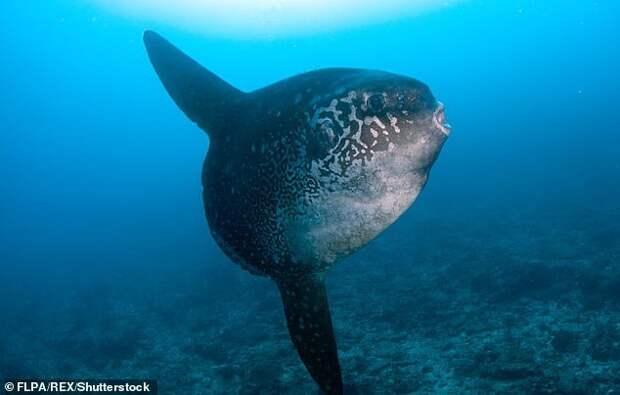Улыбаемся и машем: гигантская рыба-солнце позирует для селфи Луна-рыба, дайверы, животные, забавное видео, морские животные, морские жители, рыба-солнце, селфи