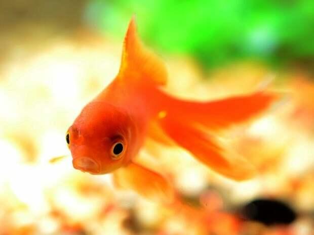 Как в Европе появилась золотая рыбка