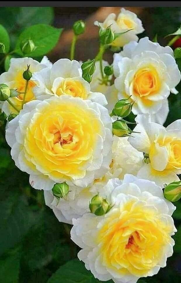 розы фото 170320 – 13