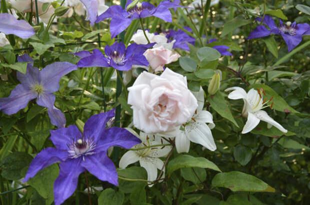 New Dawn душистый сорт с цветками классической формы. Фото автора