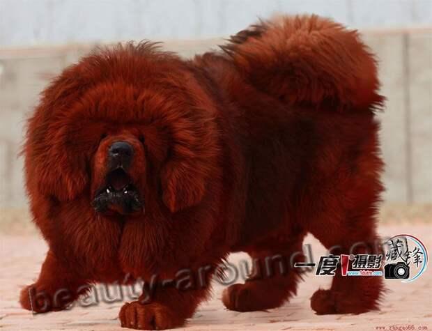 Тибетский мастиф самые красивые собаки с выставок, породы собак с фотографиями