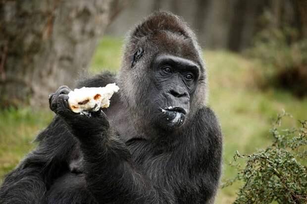 В Берлинском зоопарке горилла Фату отпраздновала свой 61-й день рождения.