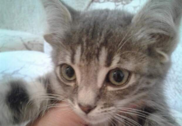 Уникальный котенок с пятью ушами родился в Волгодонске