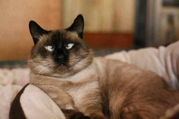 Тайские кошки: Их белая шерсть необратимо чернеет от холода. Специальные кошки буддийских монахов