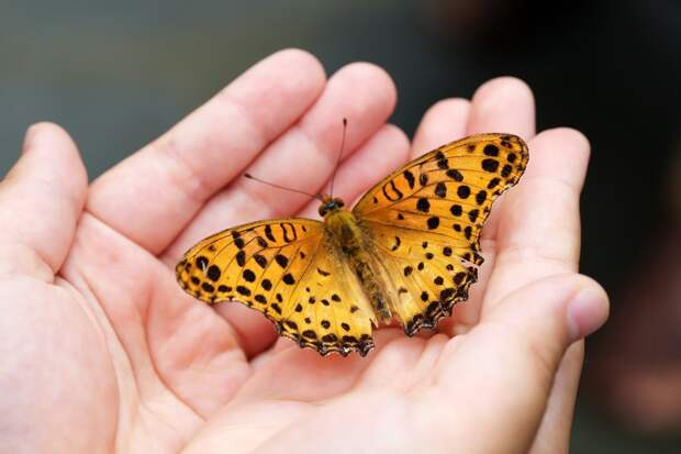 Известный энтомолог прочтет лекцию о редких бабочках в медиацентре на Трофимова